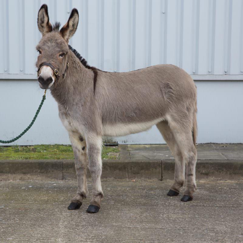 Rent Grey Donkey 1
