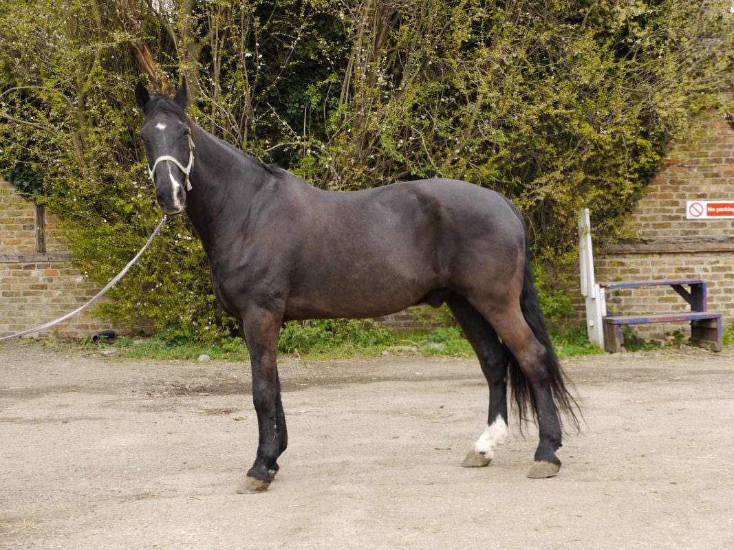 Rent Bay horse dark