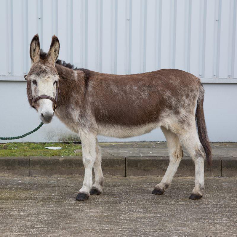 Rent Brown & White Donkey 3