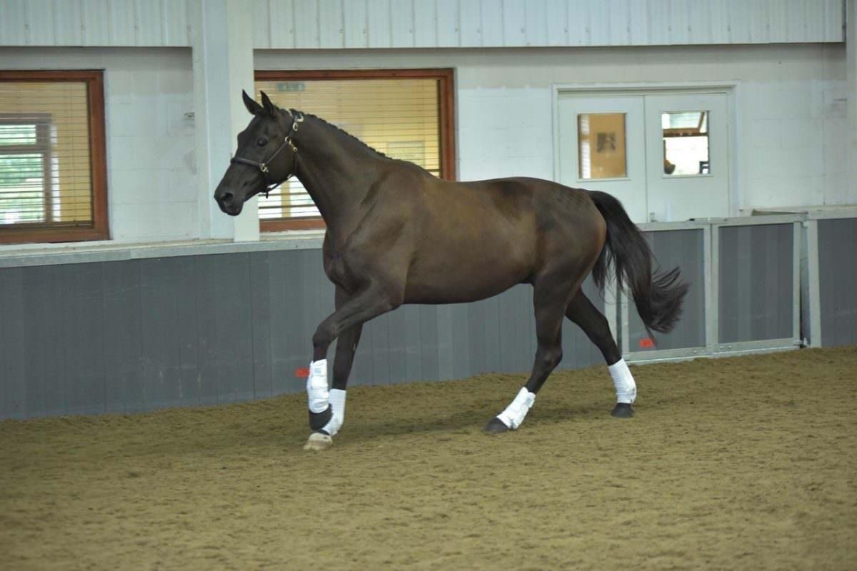 Rent Bay Horse 1