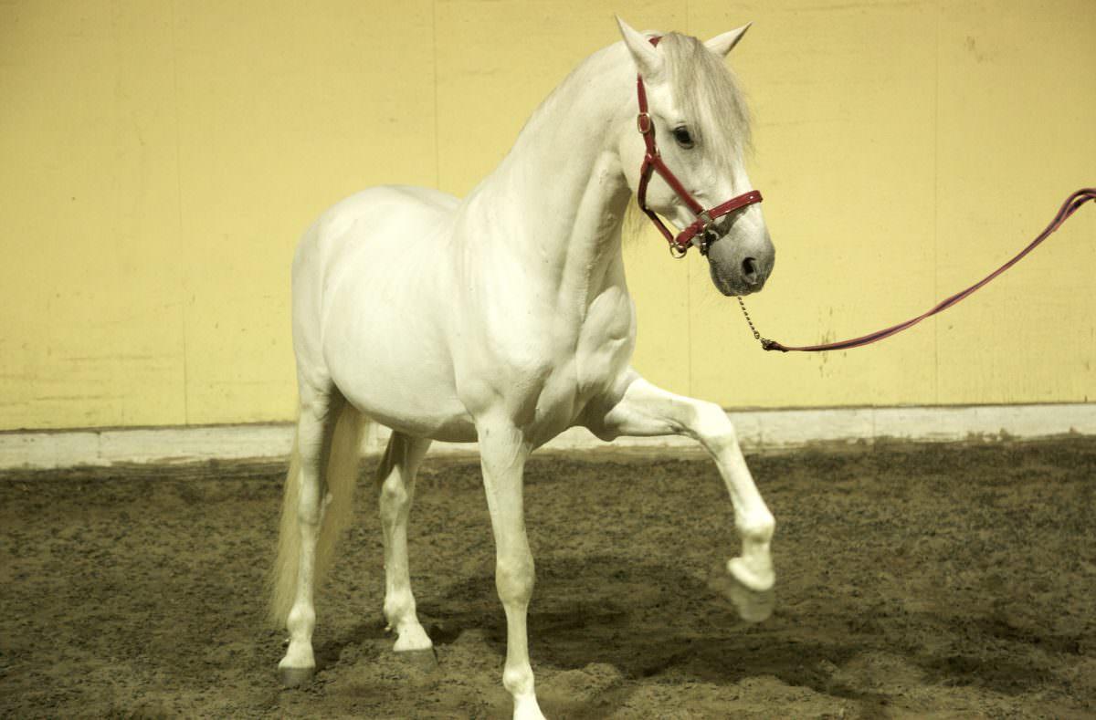 Rent White Horse 10