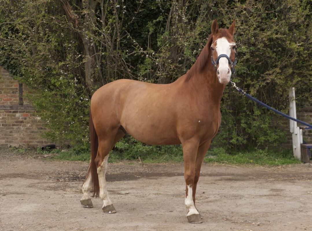 Rent Chestnut horse