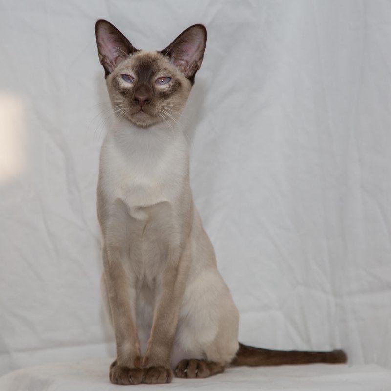 Rent Siamese Cat