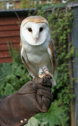 Rent Barn Owl