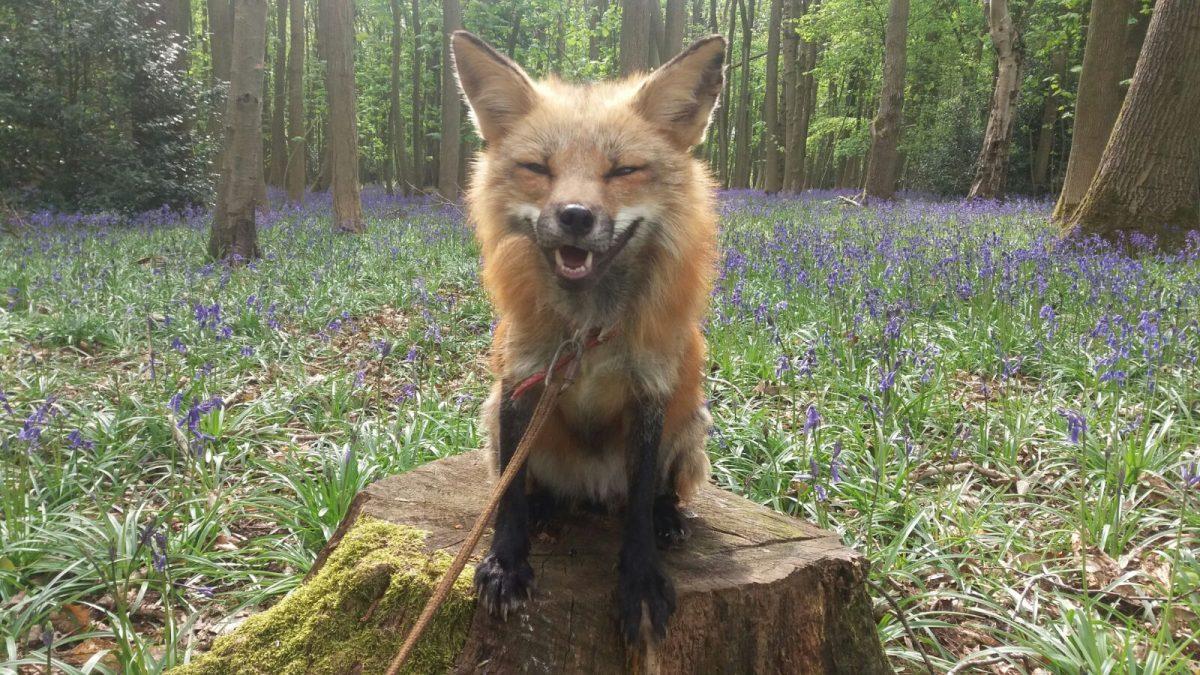 Rent Fox 2