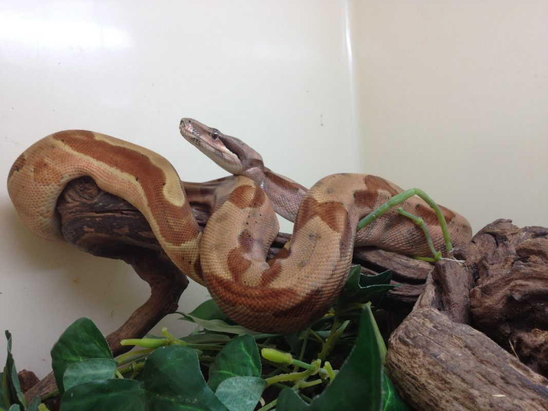 Rent Boa Constrictor
