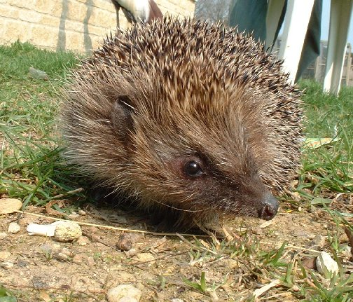 Rent British Hedgehog
