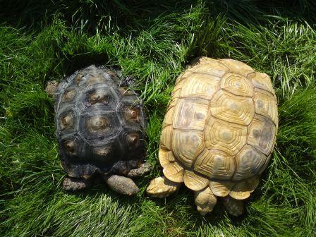 Rent Burmese Black Tortoise with Sulcatta