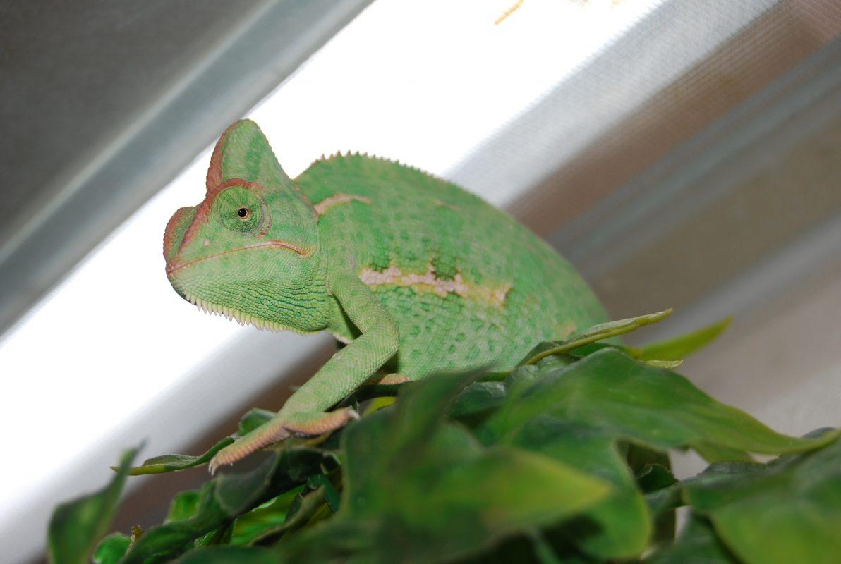 Rent Chameleon 2