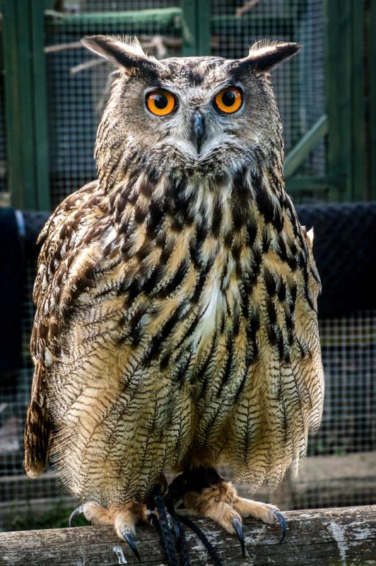Rent European Eagle Owl