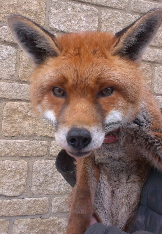Rent Fox 1