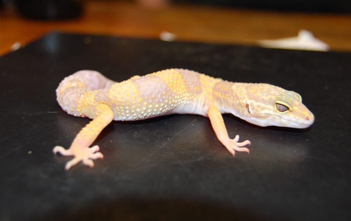 Rent Gecko 1