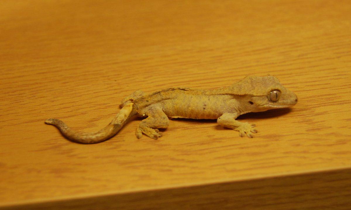 Rent Gecko 6