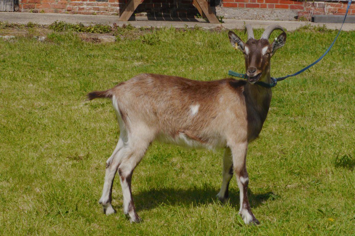 Rent Goat