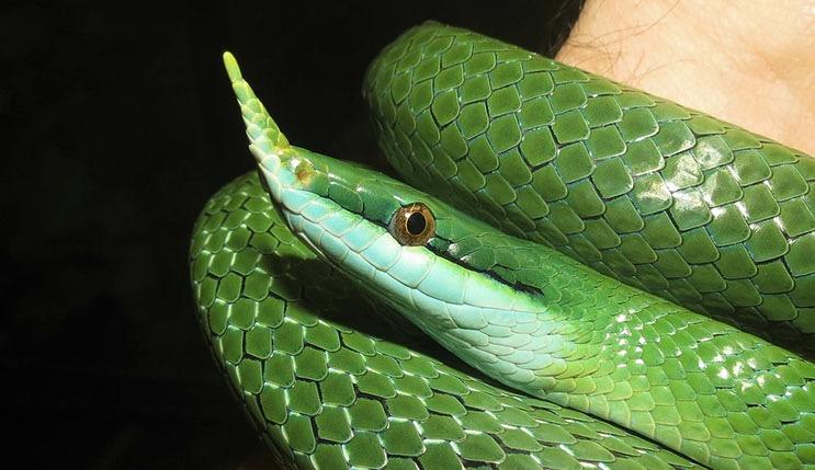 Rent Green Snake