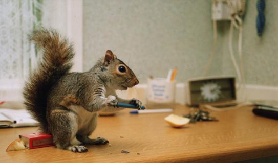 Rent Grey Squirrel 1