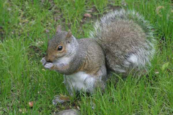 Rent Grey Squirrel 2