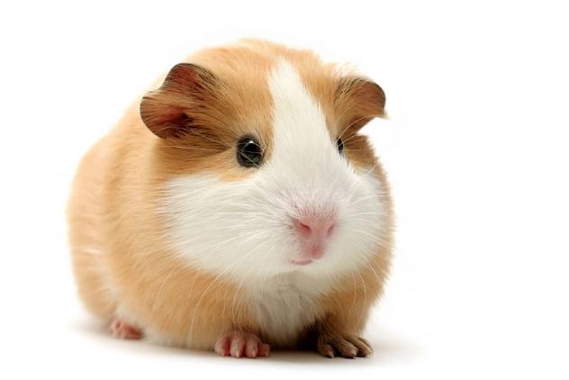 Rent Guinea Pig