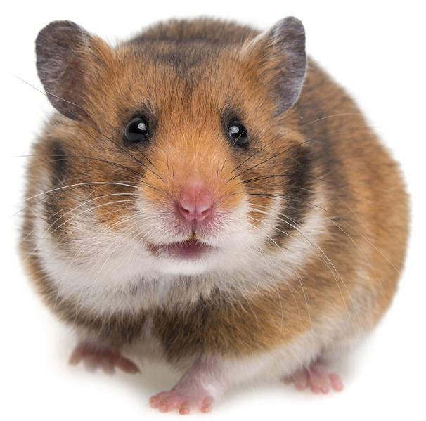 Rent Hamster