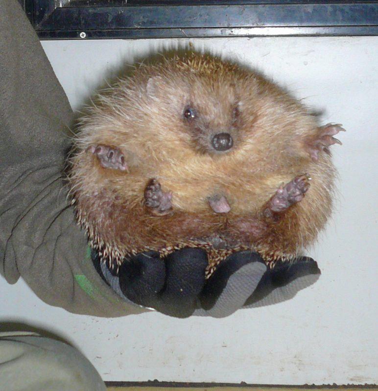 Rent Hedgehog 1