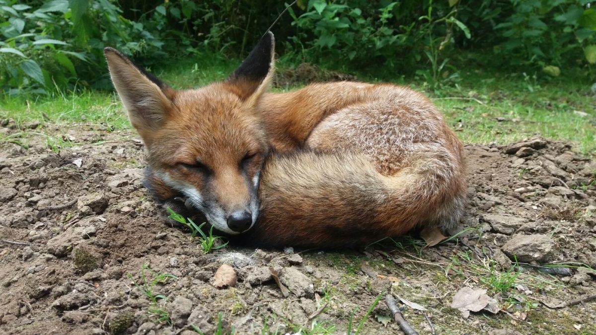 Rent Fox 4