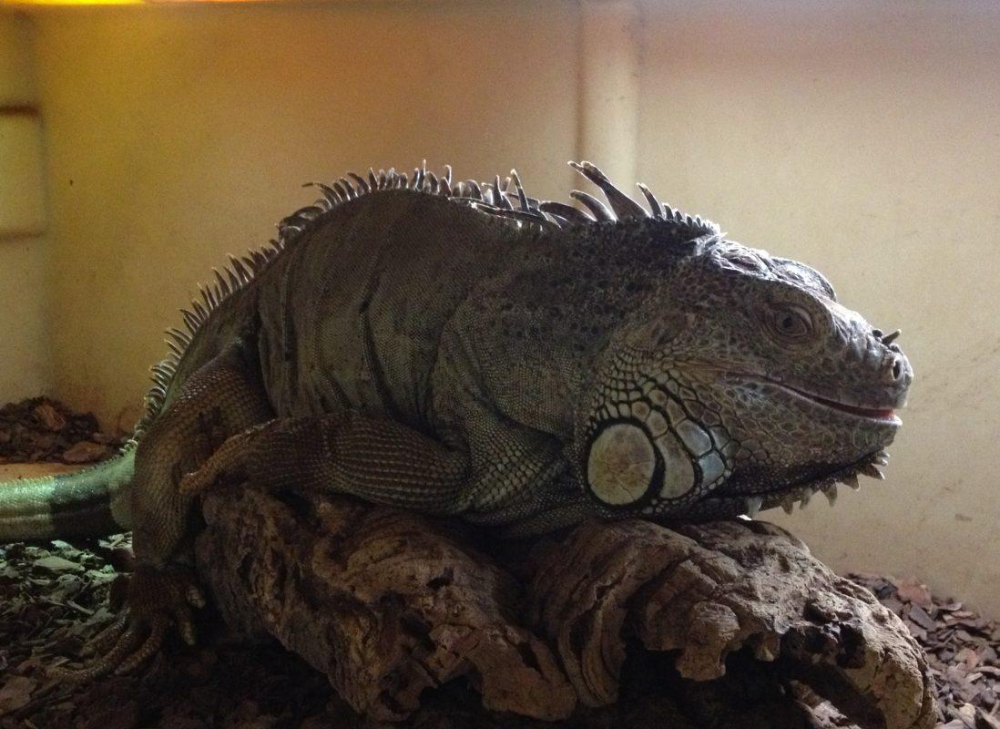 Rent Iguana 2
