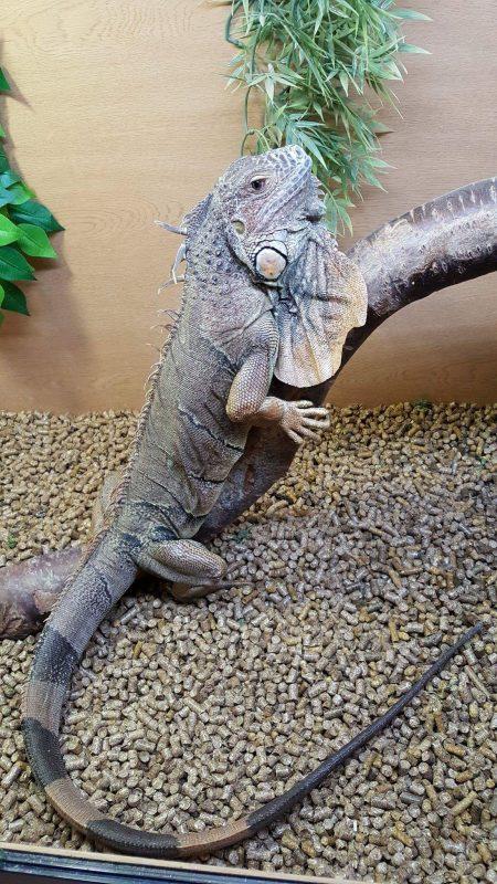 Rent Iguana