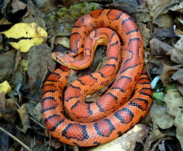 Rent King Snake