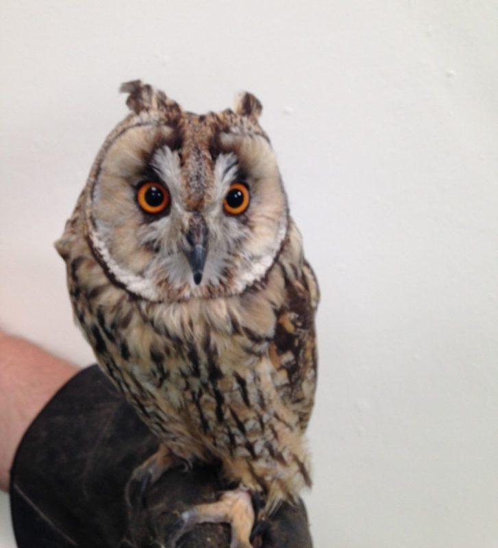 Rent Little Owl