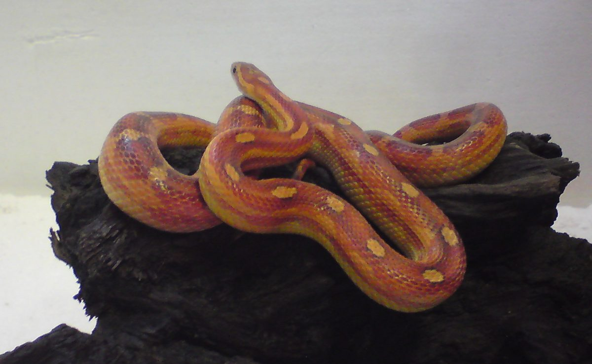 Rent Motley Corn Snake