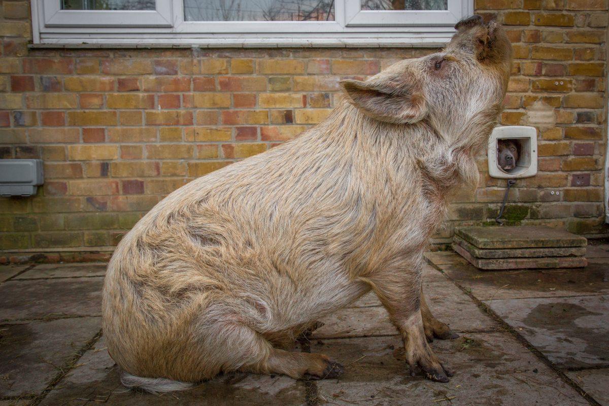 Rent Pig Snout