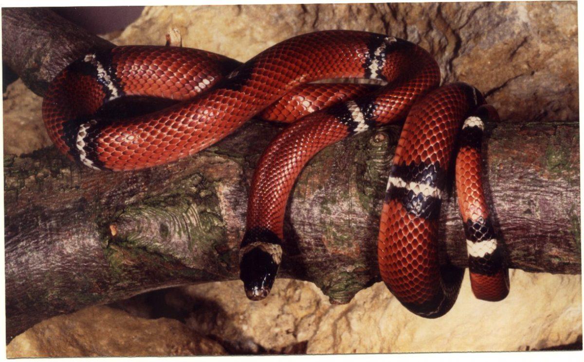 Rent Sinaloan Milk Snake