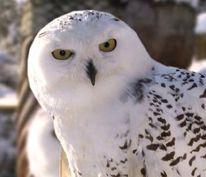 Rent Snowy Owl