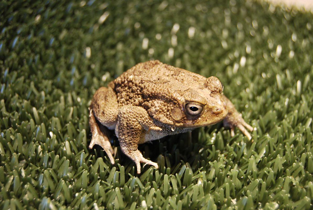 Rent Toad 2