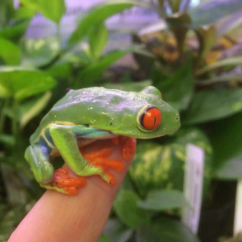 Rent Tree Frog