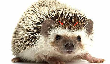 Rent Hedgehog 3
