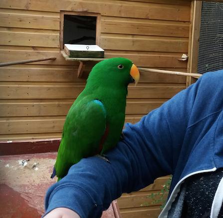 Rent Green Eclectus Parrot