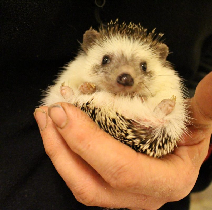 Rent African Pygmy Hedgehog