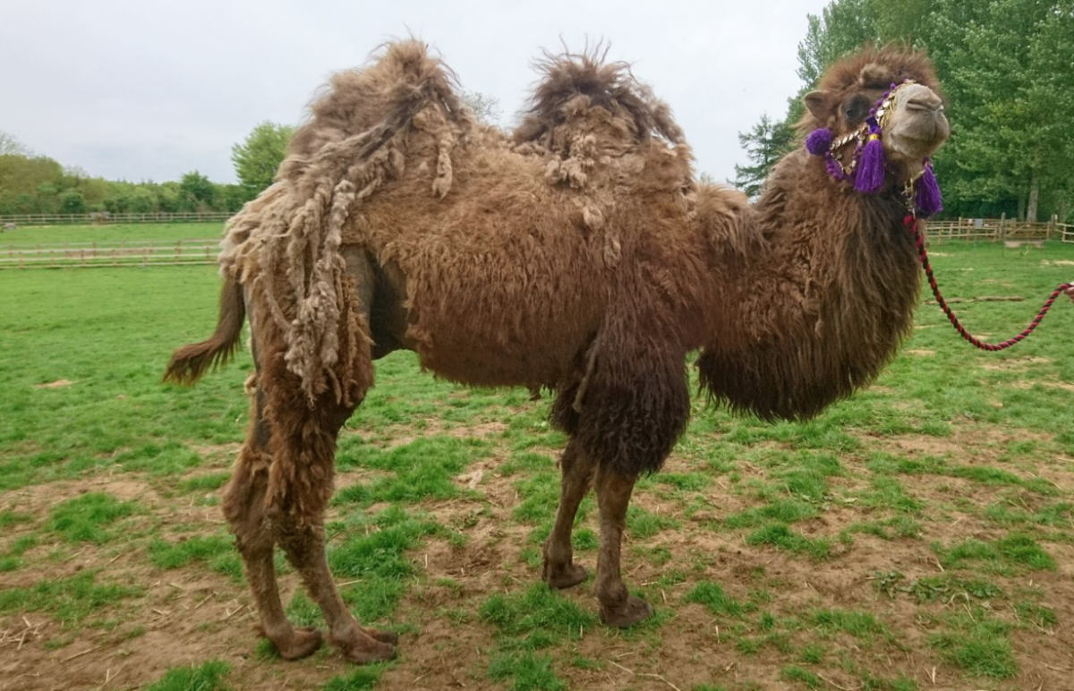 Rent Bactrian Camel
