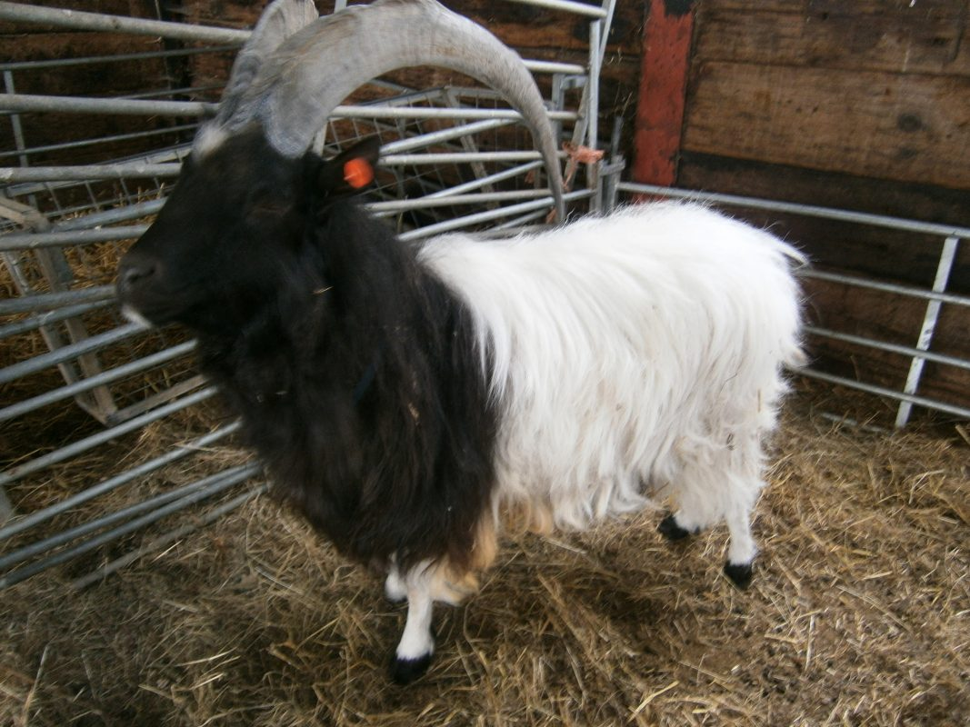 Rent Black & White Billy Goat