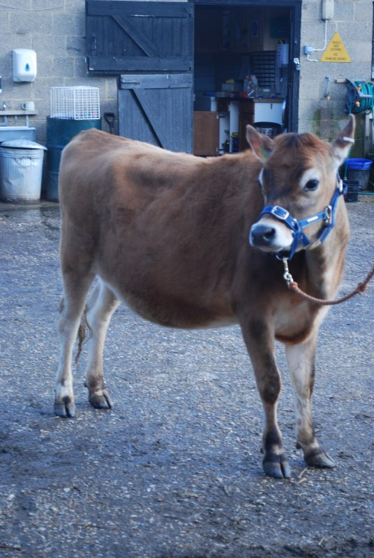Rent Jersey Cow 1