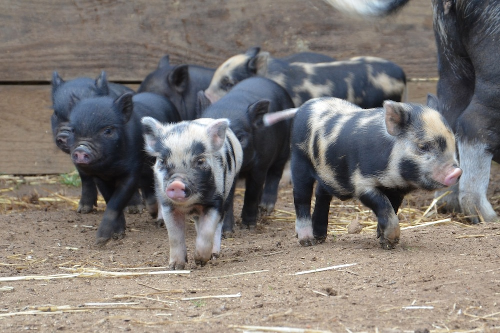 Rent Micro Pigs