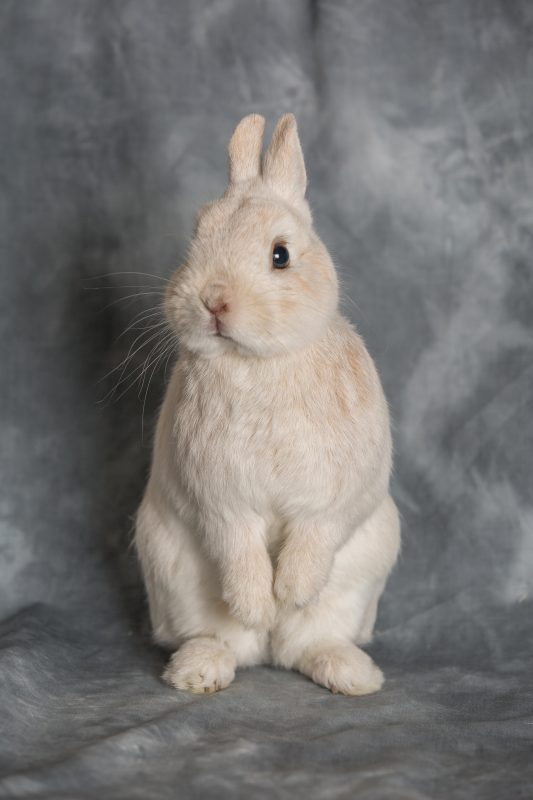 Rent Dwarf Rabbit