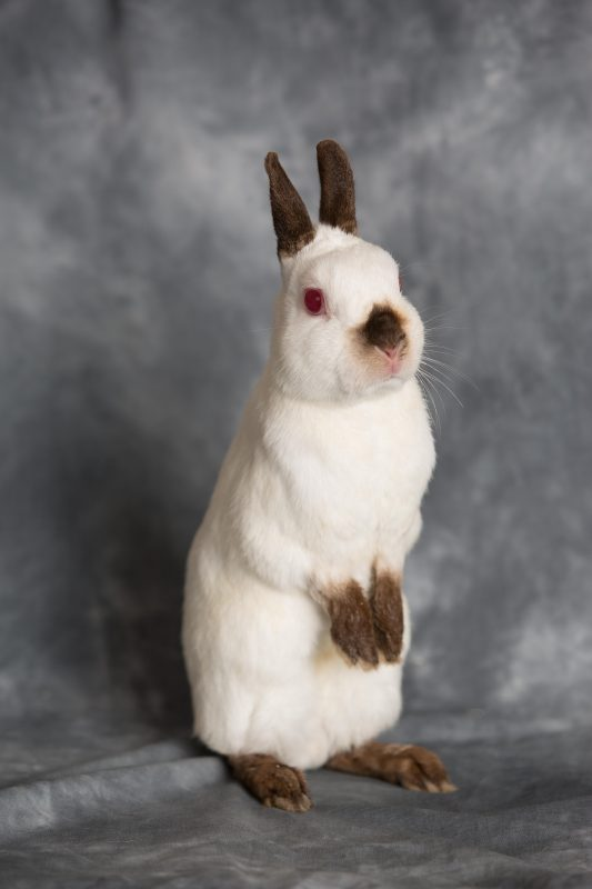 Rent Dwarf Rabbit 2