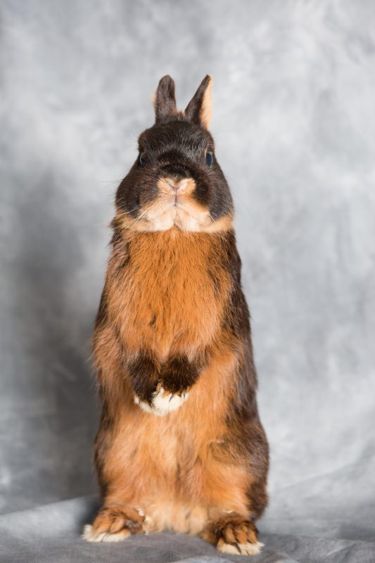 Rent Dwarf Rabbit 3