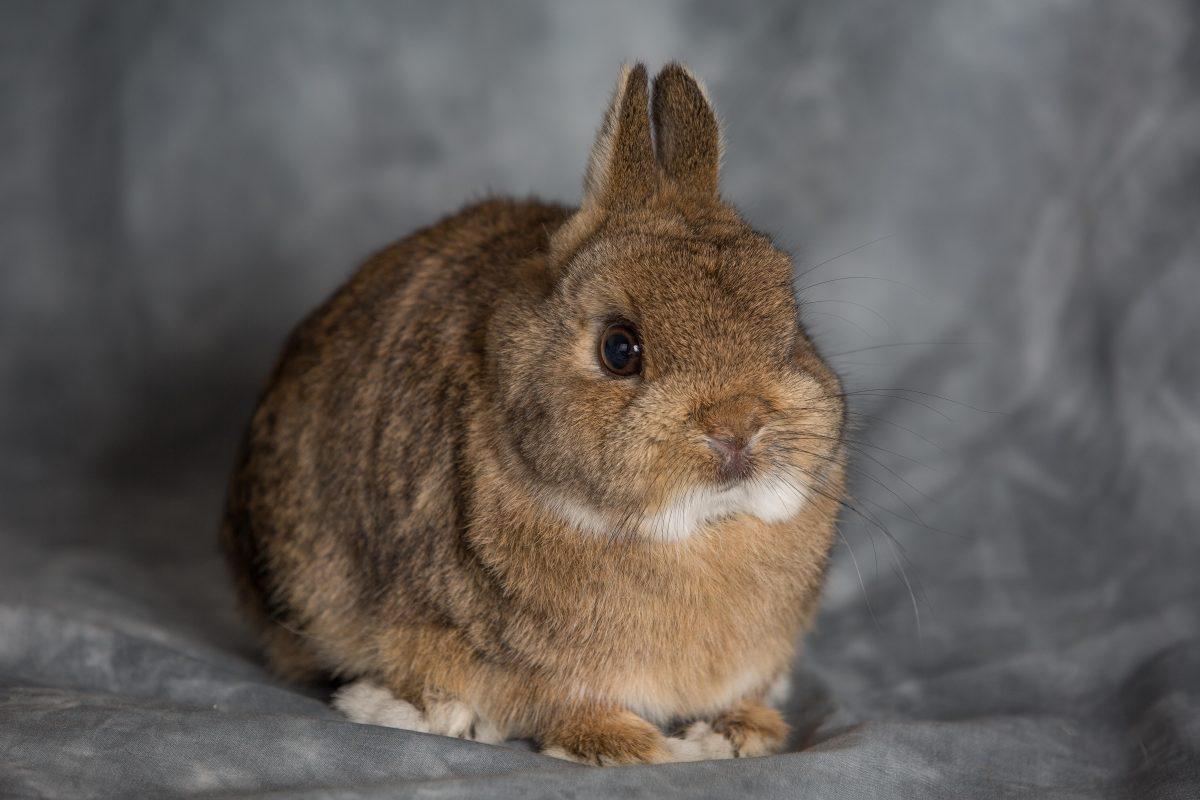 Rent Dwarf Rabbit 4