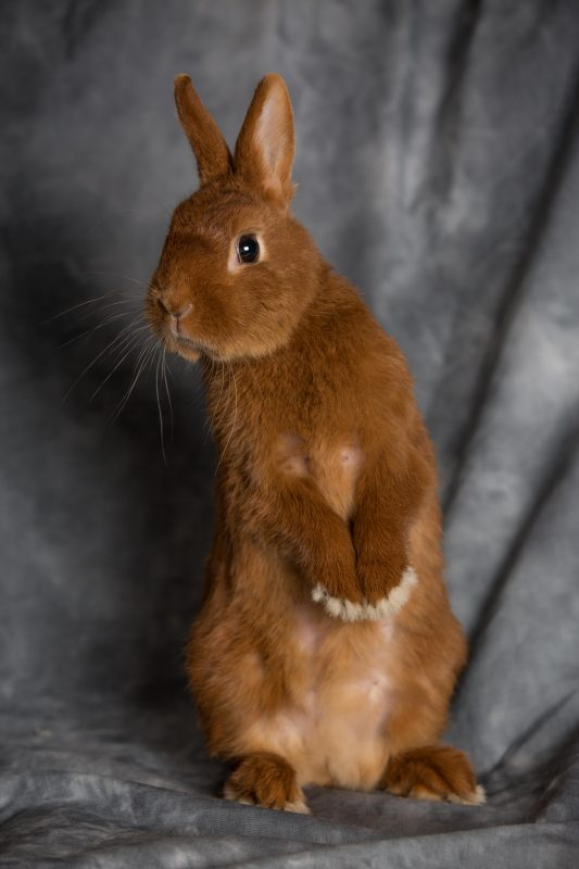 Rent Dwarf Rabbit 5