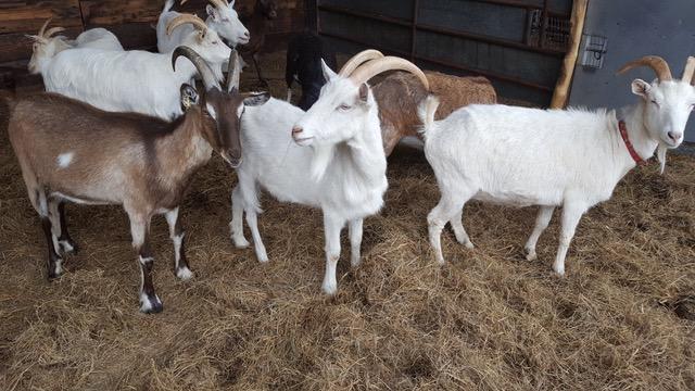 Rent Goats