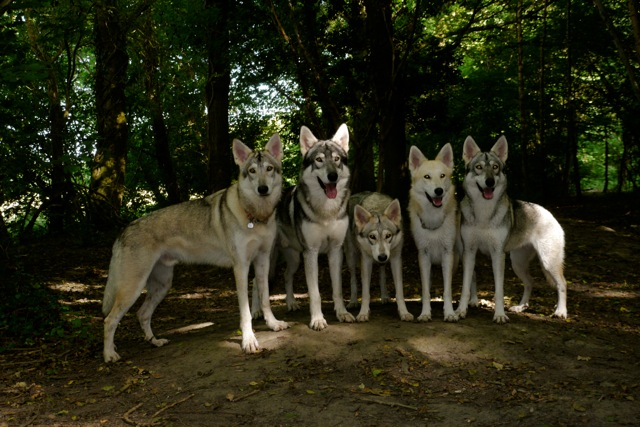 Rent Group of Wolfdogs