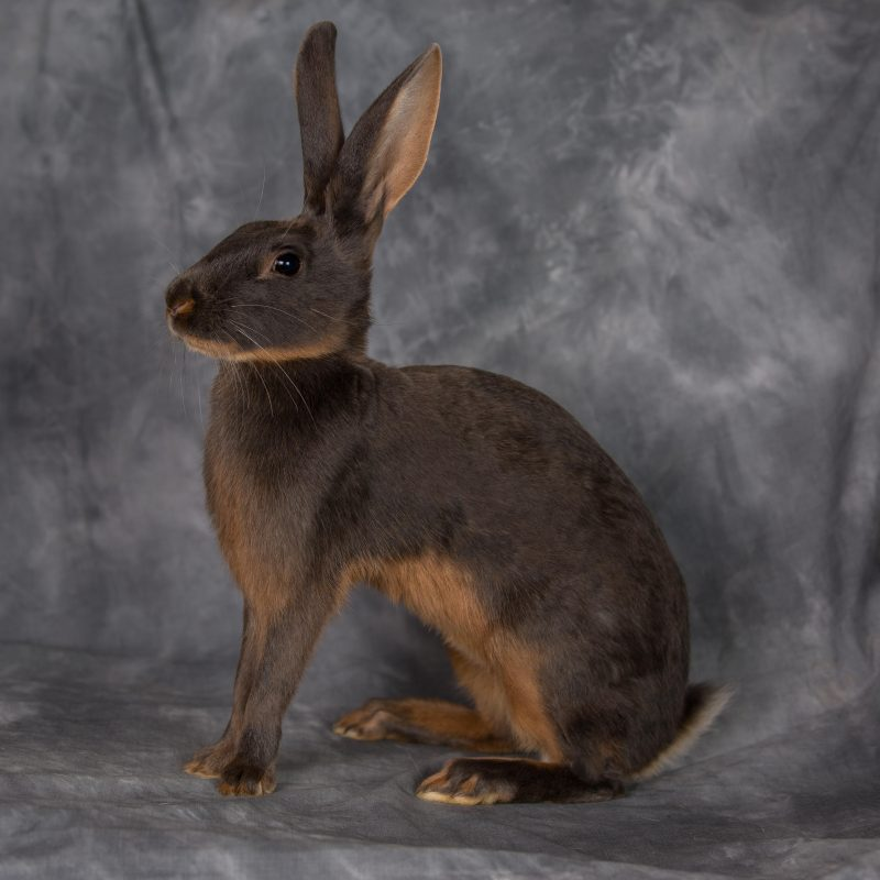 Rent Hare